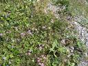 Photos_de_fleurs_-_scabieuses_et_papillons_28azures2C_moires_des_fetuques29.jpg