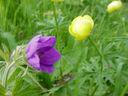 Photos_de_fleurs_-_anemone-et-trolles.JPG