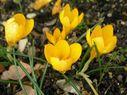 Photos_de_fleurs_-_crocus_jaune.jpg