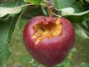 Photos_de_fruits_-_pomme_et_fourmis.jpg