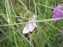 Photos_de_papillons_-_la_divisee_-_siona_lineata_-_geometridae_-_papillon_de_nuit.jpg