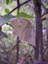 Photos_de_papillons_-_la_divisee_-_siona_lineata_-_geometridae_-_papillon_de_nuit_.jpg