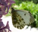 Photos_de_papillons_-_papillon_aurore_-_anthocaris_cardamines_femelle.jpg