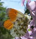 Photos_de_papillons_-_papillon_aurore_-_anthocaris_cardamines_male_.jpg