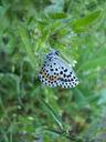 Photos_de_papillons_-_papillon_azure_des_orpins_-_scolitantides_orion.jpg