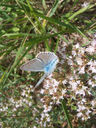 Photos_de_papillons_-_papillon_azure_du_baguenaudier_.jpg