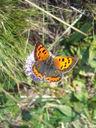 Photos_de_papillons_-_papillon_cuivre_commun_-_lycaena_phlaeas.jpg