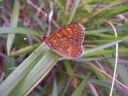 Photos_de_papillons_-_papillon_damier_de_la_succise_-_euphydryas_aurinia.jpg