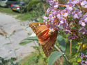 Photos_de_papillons_-_papillon_ecaille_chinee_vue_de_dessous.jpg