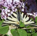 Photos_de_papillons_-_papillon_flambe_-_iphiclides_podalirius.jpg