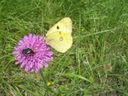 Photos_de_papillons_-_papillon_fluore_-_colias_alfacariensis.jpg