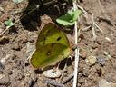 Photos_de_papillons_-_papillon_fluore_-_colias_alfacariensis_.jpg