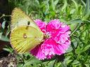 Photos_de_papillons_-_papillon_fluore_-_colias_alfacariensis__.jpg
