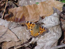 Photos_de_papillons_-_papillon_grande_tortue_-_nymphalis_polychloros.JPG