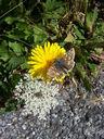 Photos_de_papillons_-_papillon_hesperie.jpg