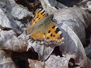 Photos_de_papillons_-_papillon_la_grande_tortue_-_nymphalis_polychloros_.JPG