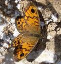 Photos_de_papillons_-_papillon_la_megere_-_lasiommata_megera_femelle.jpg