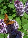 Photos_de_papillons_-_papillon_la_petite_violette_-_clossiana_dia.jpg