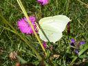 Photos_de_papillons_-_papillon_le_citron_gonopteryx_rhamni_sur_fleur_d_oeillet.jpg