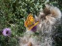 Photos_de_papillons_-_papillon_le_cuivre_de_la_verge-d_or_-_heodes_virgaureae_sur_cirse_des_pres.jpg