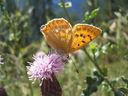 Photos_de_papillons_-_papillon_le_cuivre_de_la_verge-d_or_-_heodes_virgaureae_sur_verge-d_or.jpg