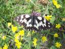 Photos_de_papillons_-_papillon_le_demi-deuil_melanargia_galathea.jpg