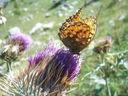 Photos_de_papillons_-_papillon_le_moyen_nacre_fabriciana_adippe.jpg