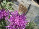 Photos_de_papillons_-_papillon_le_sable_provencal_-_polyommatus_ripartii_sur_centauree_.jpg