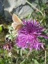Photos_de_papillons_-_papillon_le_sable_provencal_-_polyommatus_ripartii_sur_centauree__.jpg