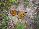Photos_de_papillons_-_papillon_megere_-_lasiommata_megera_femelle.jpg