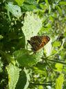 Photos_de_papillons_-_papillon_melitee.jpg