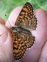 Photos_de_papillons_-_papillon_melitee_du_plantain_-_melitaea_cinxia.jpg