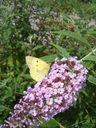 Photos_de_papillons_-_papillon_souci_sur_buddleia.jpg