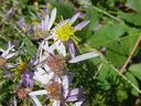 Photos_de_plantes_-_Aster_sedifolius_-.jpg
