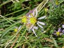 Photos_de_plantes_-__Aster_sedifolius_-.jpg