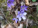 Photos_environnement_-_anemone_hepatique.jpg