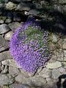 Photos_environnement_-_aubrietes.jpg