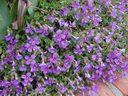 Photos_fleurs_cultivees_-_aubrietes.jpg