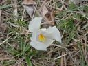 Photos_fleurs_cultivees_-_crocus_blanc.jpg