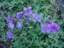 Photos_fleurs_du_jardin_-_aubrietes_deltoides.jpg