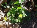 Photos_fleurs_sauvages_-_ficaire_-.jpg