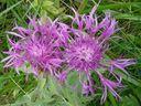 Photos_fleurs_sauvages_-_bleuet_-_centauree.jpg