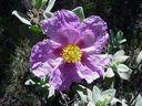 Photos_fleurs_sauvages_-_fleur_de_ciste_cotonneux.jpg