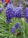 Photos_fleurs_sauvages_-_grappes_bleues_de_muscaris.jpg