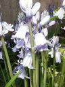 Photos_fleurs_sauvages_-_jacinthes_des_bois.jpg