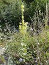 Photos_fleurs_sauvages_-_molene_ou_bouillon_blanc.jpg