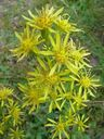 Photos_fleurs_sauvages_-_solidago_virgaurea_-_verge_d_or~0.jpg