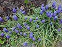 Photos_fleurs_sauvages_-_touffe_bleue_de_muscaris.jpg