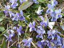 Photos_fleurs_sauvages_-_violettes.jpg