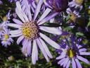 Photos_fleurs_-_asters.jpg